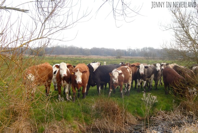 Norfolk Broads Cows