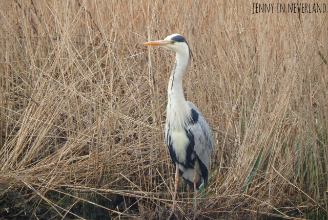 Norfolk Broads Heron